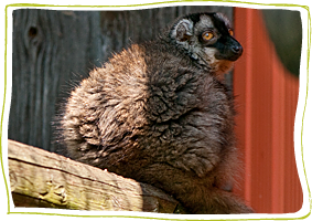 Brown Lemurs at Story Book Farm Primate Sanctuary in Sunderland Ontario