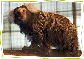 Marmosets at Story Book Primate Sanctuary, Sunderland Ontario
