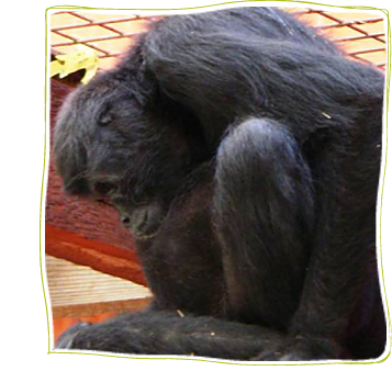 In memoriam Susie, Black Spider Monkey